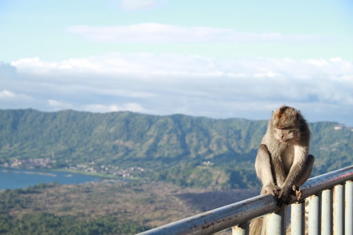 Monkey perched on Mount Batur in Bali
