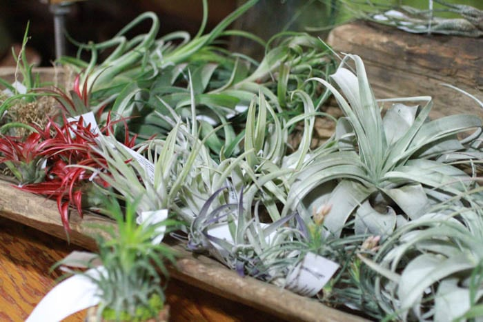 air plants at skinny skinny