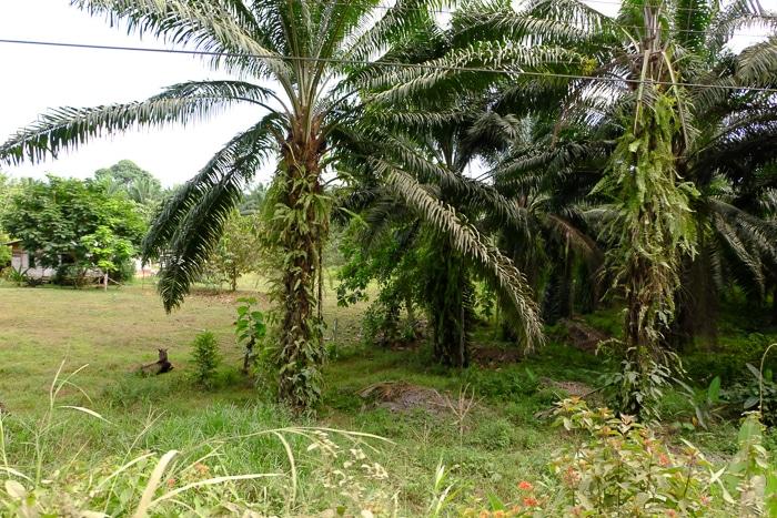 A palm oil monoculture crop.