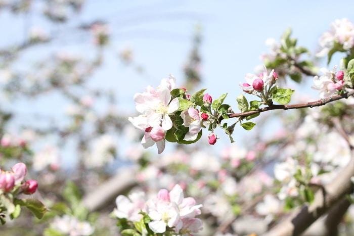 Pear blossom
