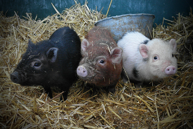 Save the piglets!