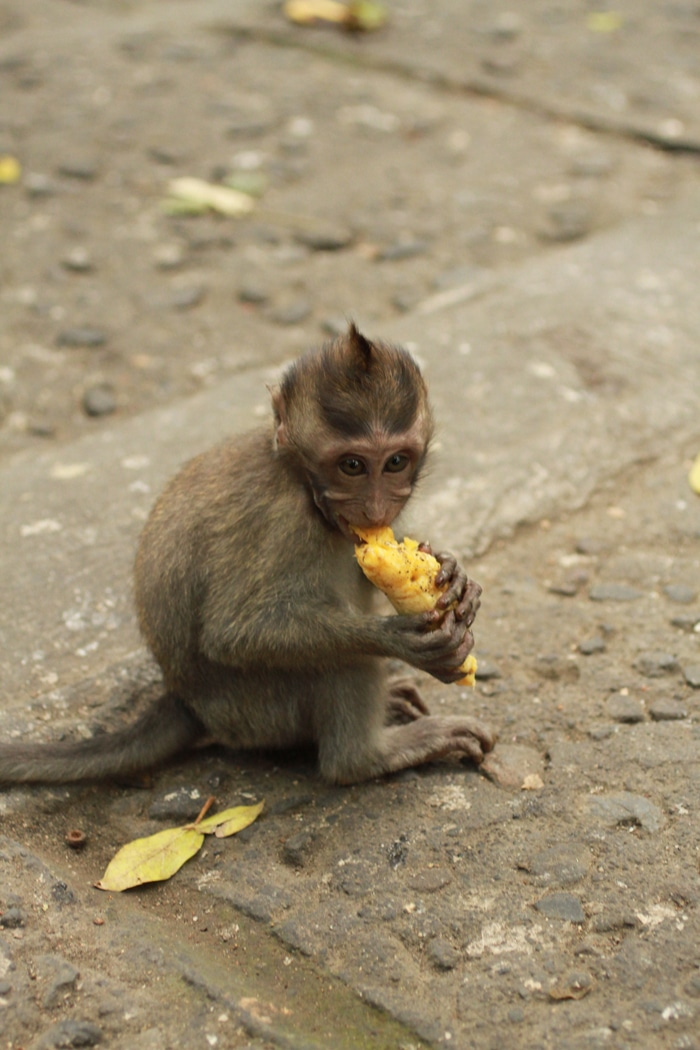 Baby monkey at the sacred monkey forest