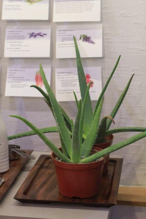 Yarok aloe plant