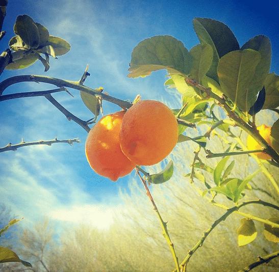 Lemons at the Desert Botanical Garden in Phoenix