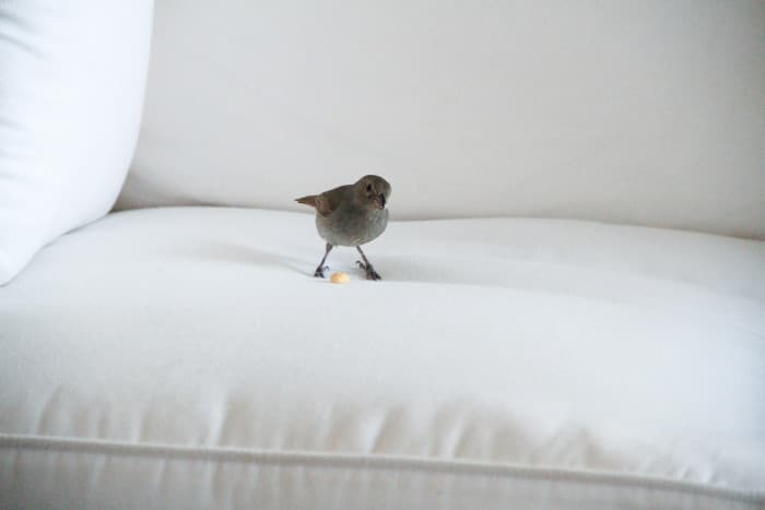 Bird on couch