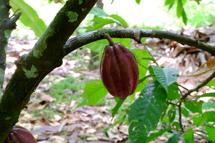 A cacao pod.