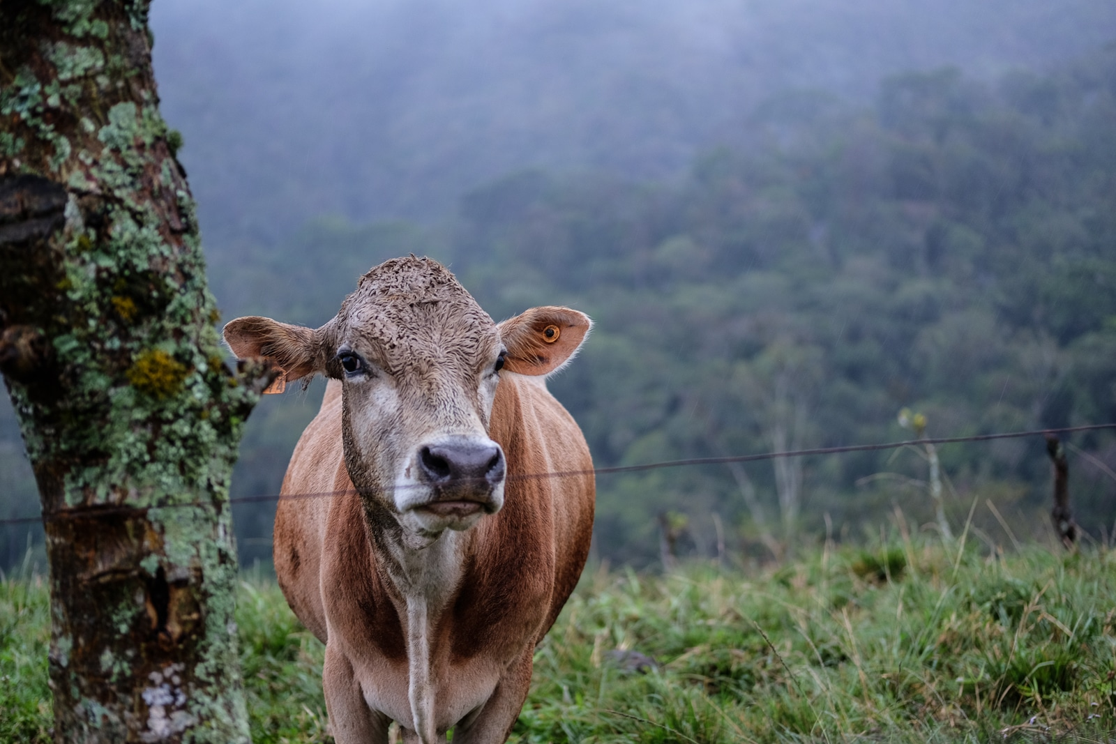 cow looks out from a field