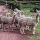 a small herd of alpaca wandering across a dirt road looks curiously at the camera